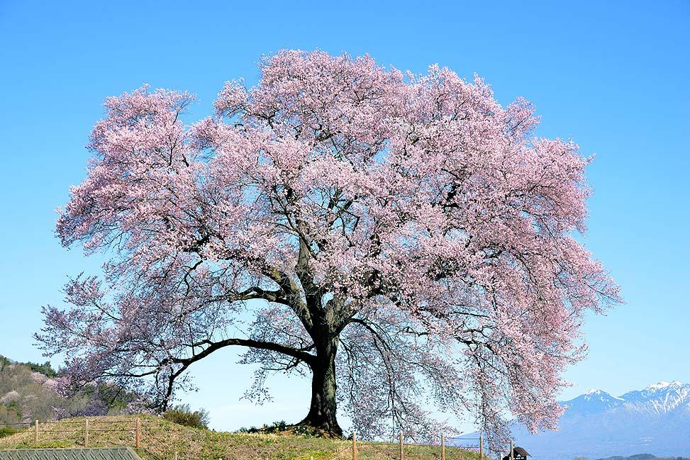 わに塚の桜 wanizuka cherry blossom
